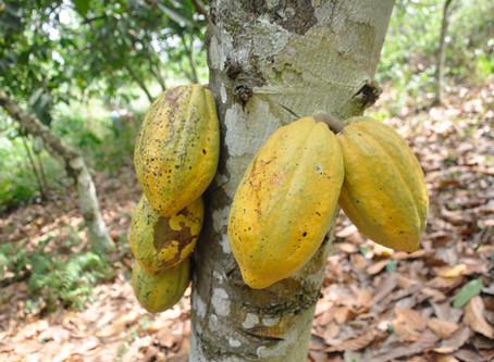 A Week with Cocoa Farmers in Ghana's Eastern Region