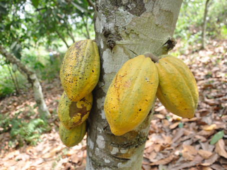 A Week with Cocoa Farmers in Ghana's Eastern Region