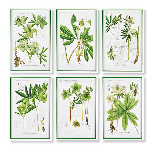HELLEBORES BOTANICAL STUDY, SET OF 6