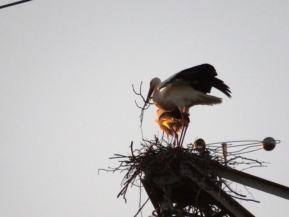 Ginsheimer Storchenpaar auf Strommast