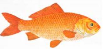 •••Gold fish.png