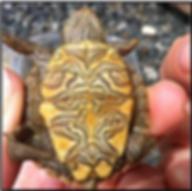 Juniata Endangered map turtle undeside.