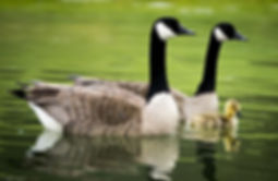 Canadian Geese with gooslng