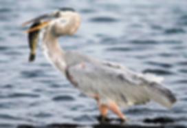 Blue Heron and fish