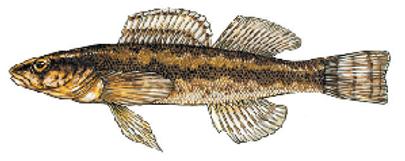 Longhead Darter