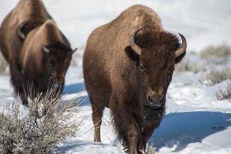 Bison in Pennsylvania