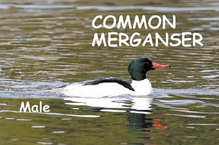 Common Merganzer goose