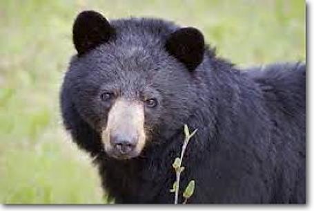 Pennsylvania Black Bears