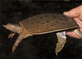 hokding spiny softshell turtle