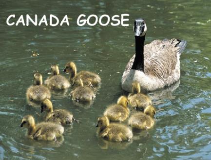 Female Canadian Goose