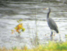 Blue heron in shallows