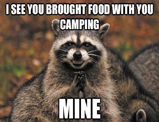 Hungry Racoon in Camp