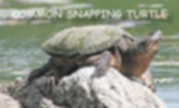 Common Snapp;ing turtle
