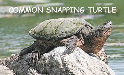 Common Snapp;ing turtle