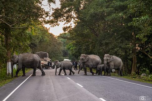 Wild elephants crossing at Kaziranga National Park Assam
