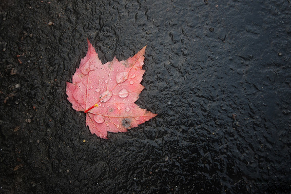 Maple leaf on the road, Algonquin Park
