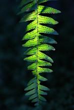 Backlit fern at Paletta