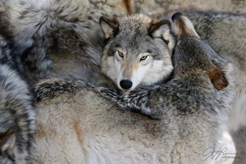 Wolves1Logo.jpg