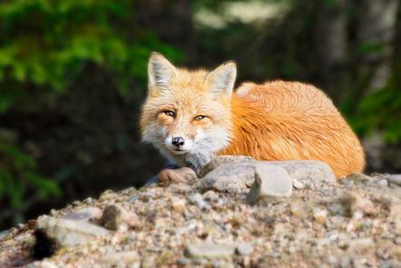 Fox_7818.jpg