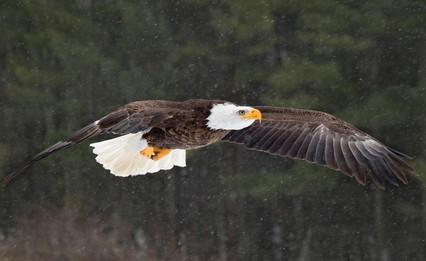Eagle_035A2871.jpg