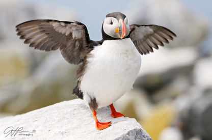 PuffinFlap.jpg