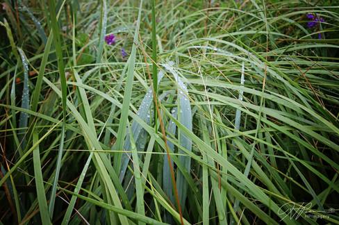 Fog droplets on the sea grass, Grand Manan