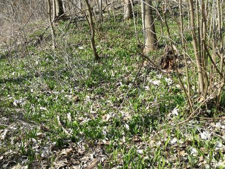 Frühlingsbote Bärlauch