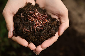 Red Composting Worms.jpeg