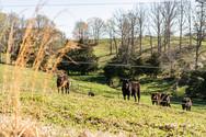 Cows.jpeg