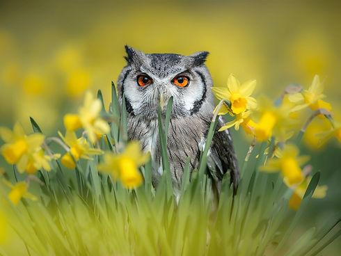 Owl-daffodils_1600x1200.jpg