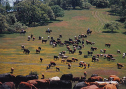 V6_Cattle_Drive