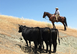 V6_Cattle_Drive_Cattle