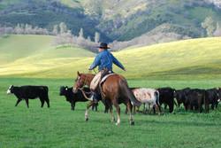 Rider_Cattle