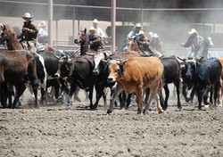 Parkfield_Rodeo_Steers