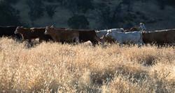 Cattle_Kristin