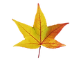 maple-253098_960_720.png
