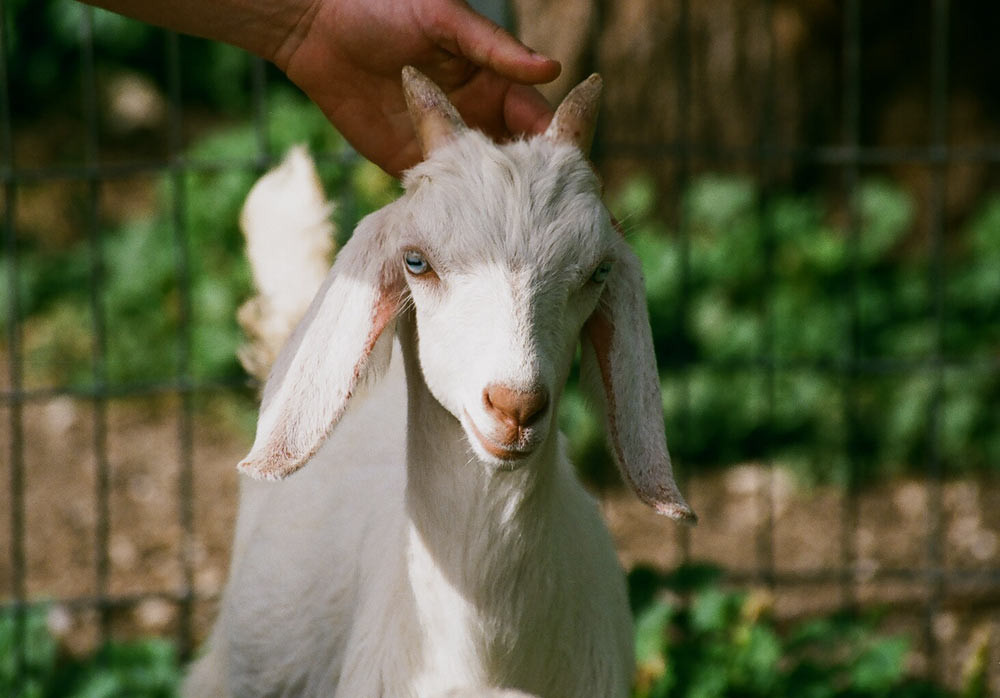 Person Petting A Goat
