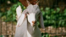 Goat Farming   बकरी फार्म कैसे शुरू करें?