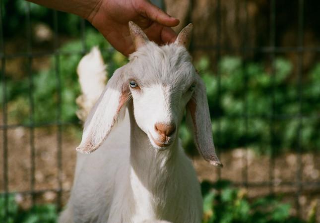 Trump's Goat
