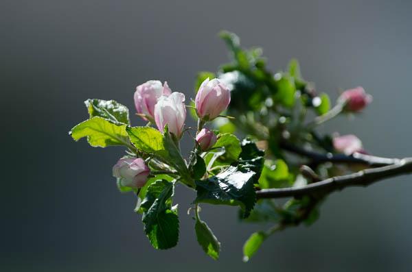 Obstbaum Blüte
