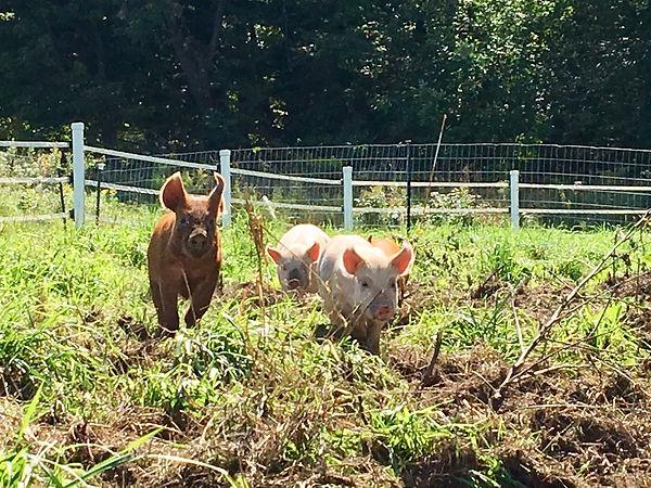 running pigs.jpg