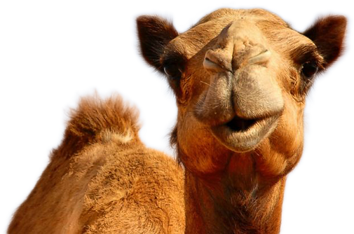 971-9710848_camel-png-image-hump-day-pur