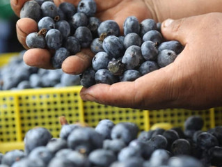 秘魯藍莓將出口到台灣