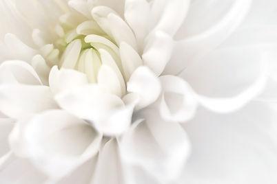 White%20chrysanthemum%20close%20up.%20Ma