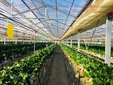 イチゴ栽培の管理