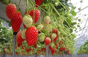 イチゴが生っている様子