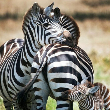 Zebra safari in Tanzania