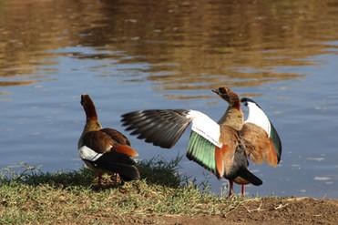 Ducks in Ngorongoro Crater