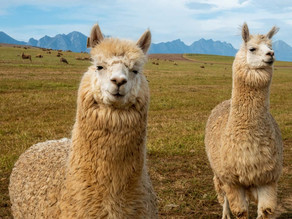 Why the lovable llama might be a secret weapon against COVID-19