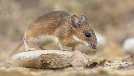 Farmers fear $1bn losses of NSW winter crops to mice